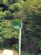 蓮の葉シャワー